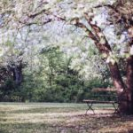 Arbre fleurs blanches